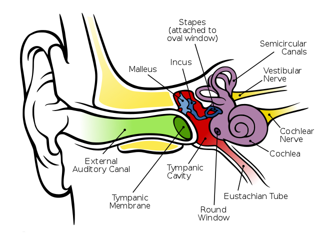 640px-Anatomy_of_the_Human_Ear_en.svg
