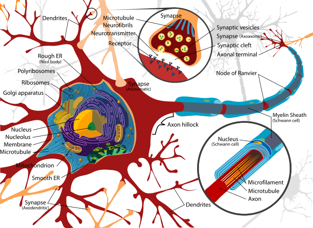 640px-Complete_neuron_cell_diagram_en.svg